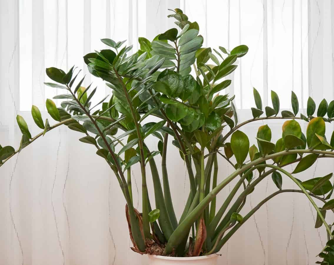 For a low maintenance houseplant, you can't get much better than the zz plant.