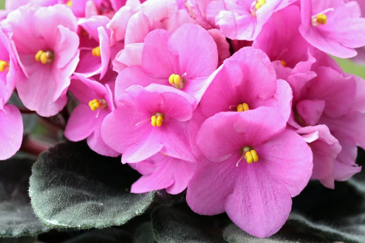 African violets have fuzzy leaves.