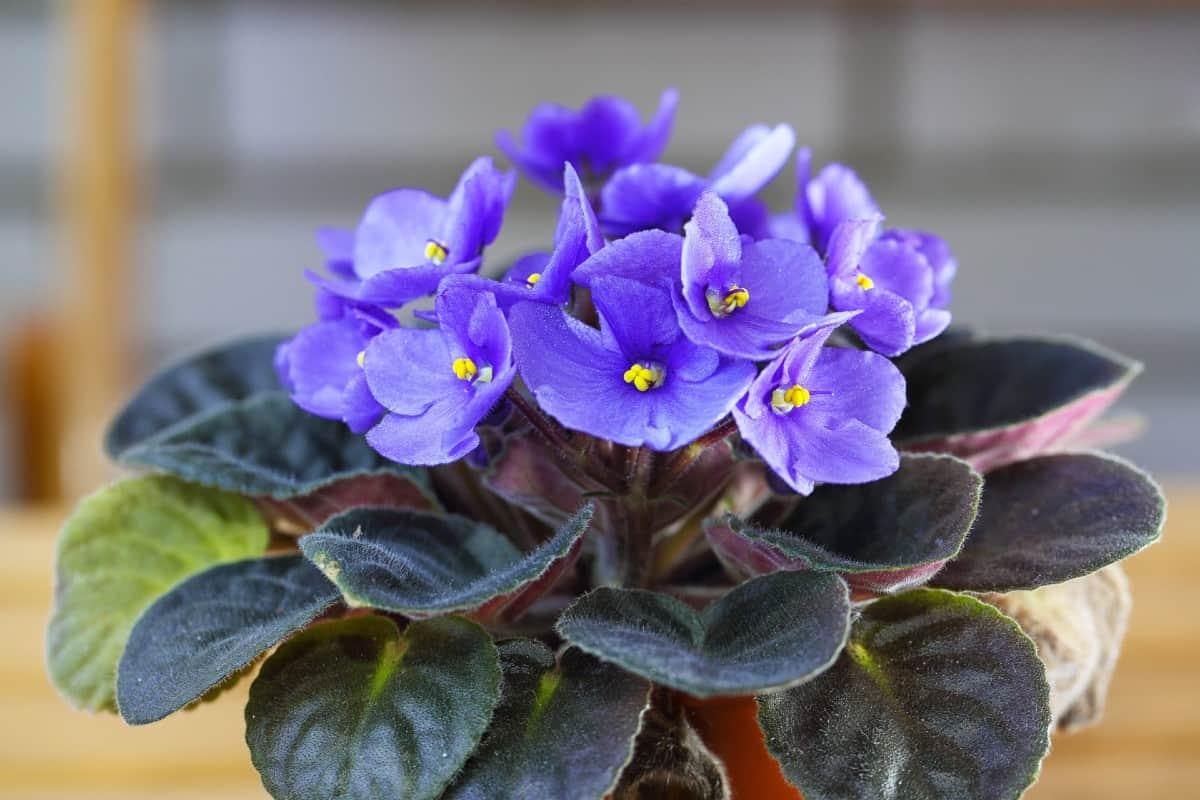 African violets bloom year-round.