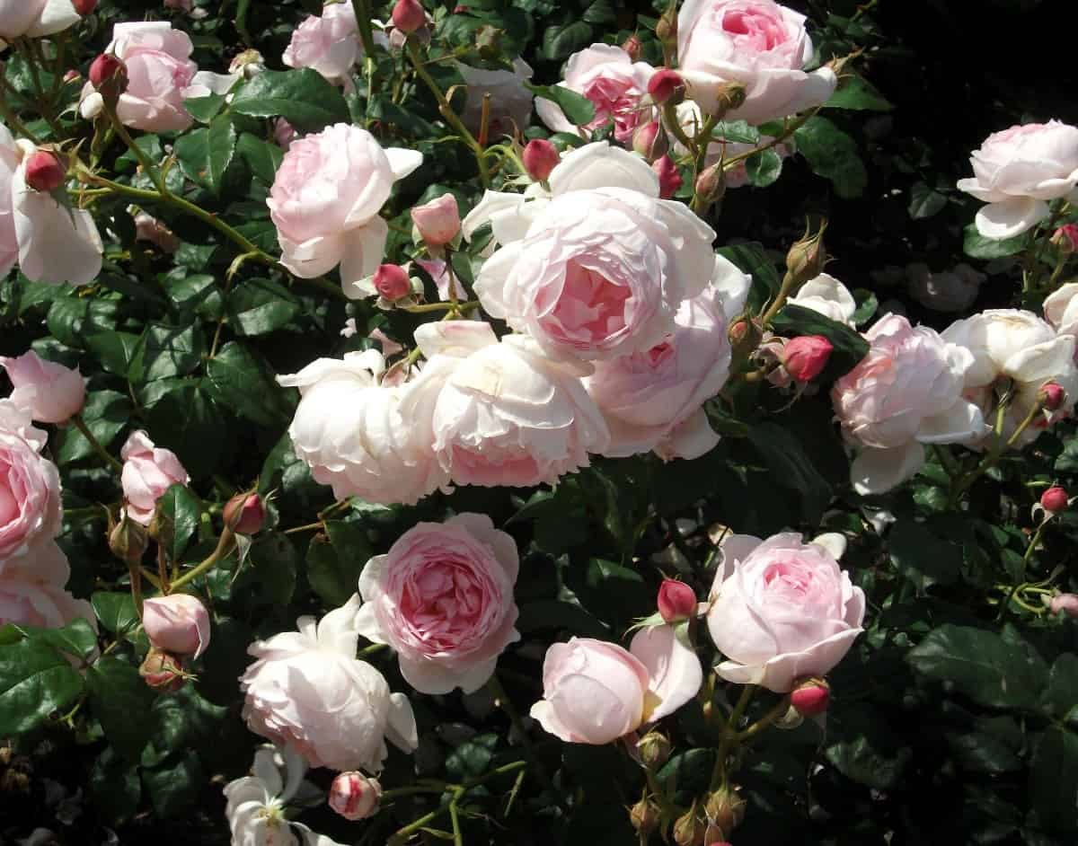 Albertine roses are vigorous growers with fragrant flowers.