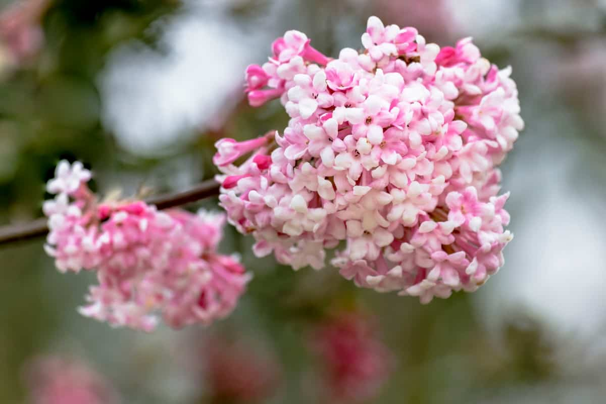 Arrowwood is a shrub with long straight branches and berries that birds love.