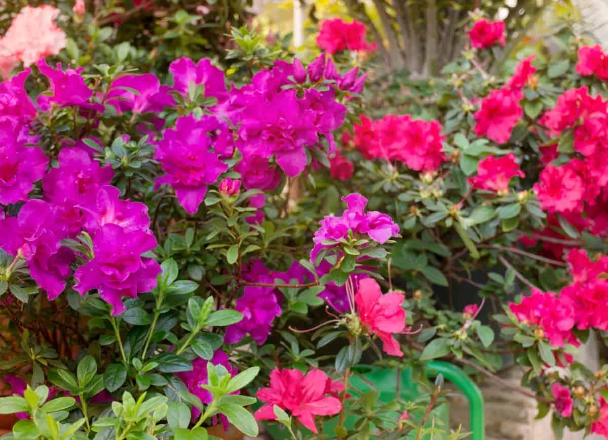Azaleas are a smaller rhododendron species.