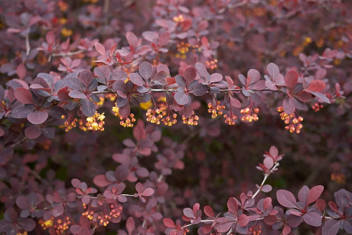 Barberry shrubs come in evergreen and deciduous varieties.