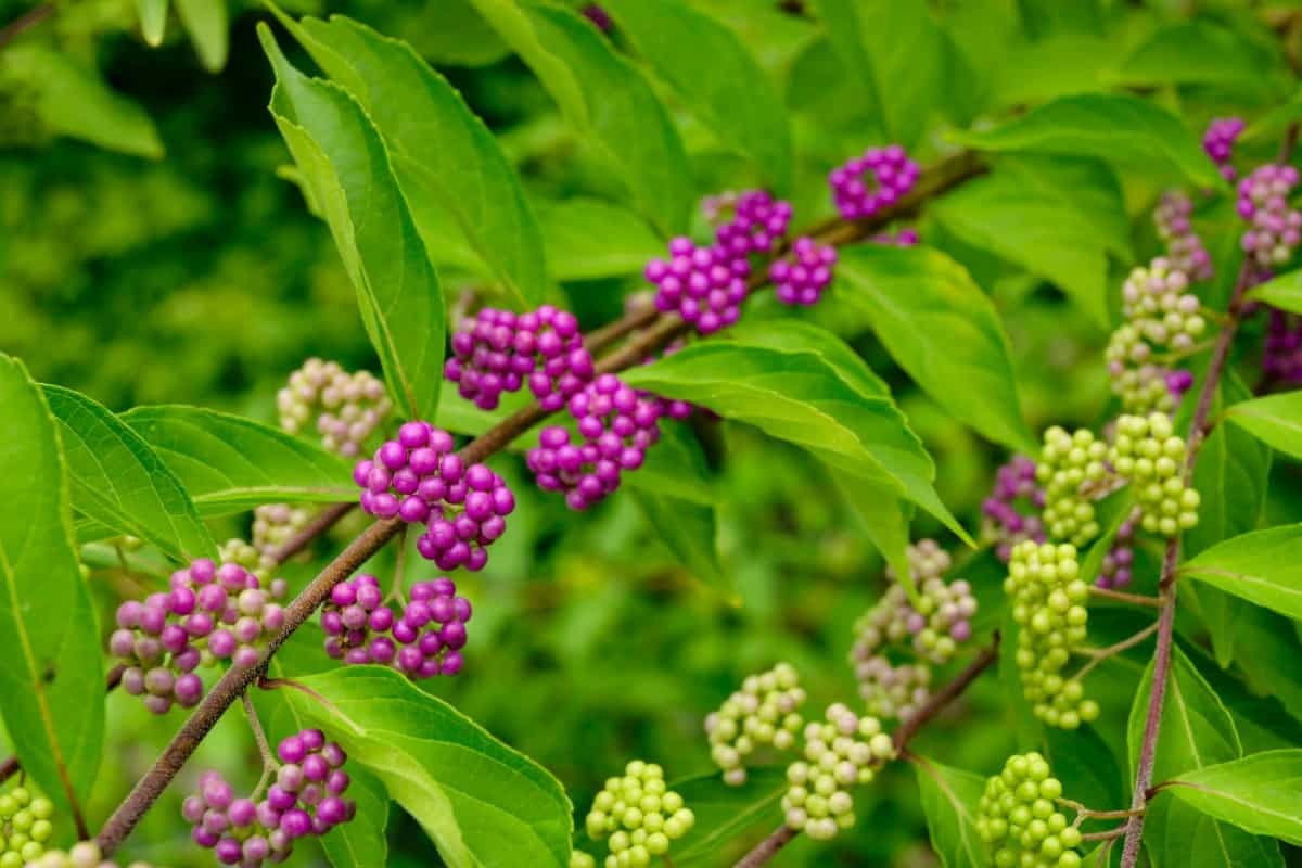 The bright purple beautyberries are well-loved by birds.