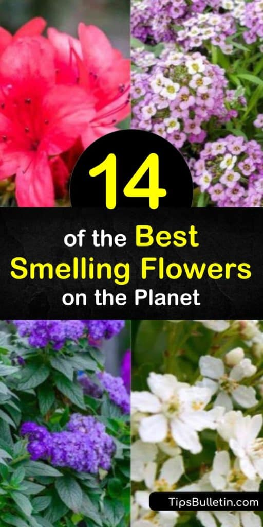 When figuring out what to plant in your yards and gardens think about plants and their fragrance. Some of the best smelling flowers can bring back some of your favorite memories. For long-lasting fragrance choose beautiful plants that bloom at various times of the year. #smelling #flowers
