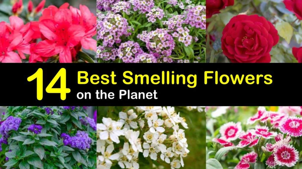 best smelling flowers titleimg1