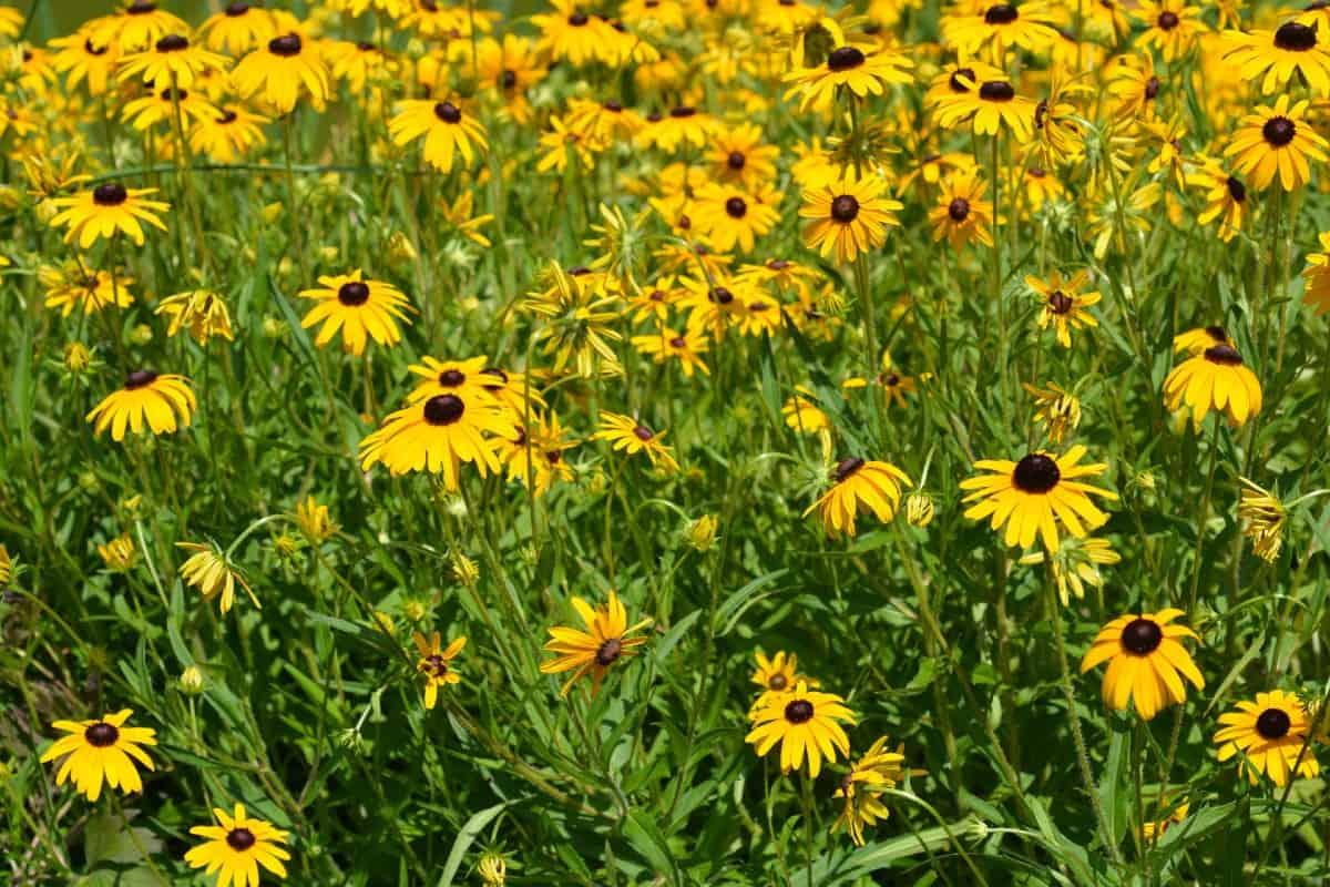 Black-eyed Susans are self-seeding perennials.