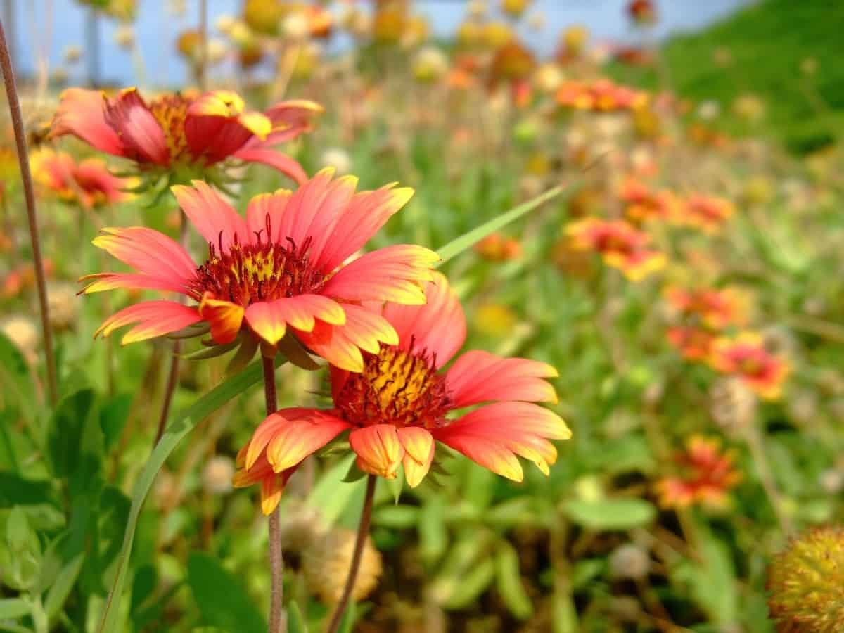 Blanket flowers are brightly-colored daisy-like flowers.
