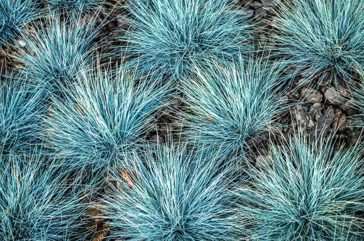 Blue fescue grass is an ornamental that is attractive all year.
