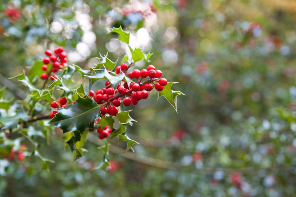 The Blue Princess holly is an evergreen shrub with shiny leaves.