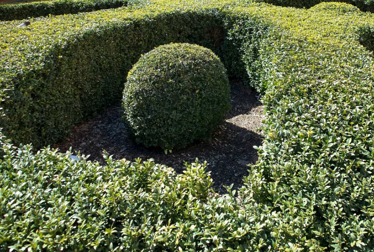 Boxwood shrubs stay green all year.