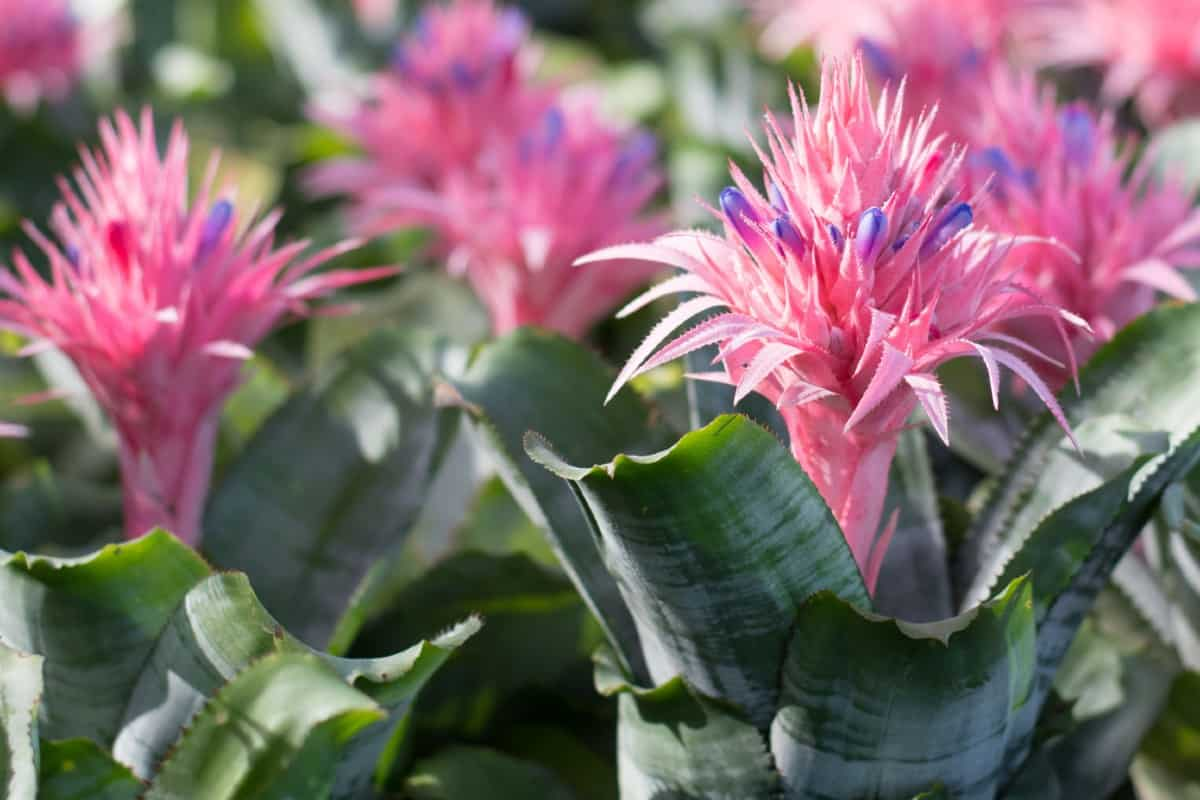 Bromeliads come in many different styles and all adapt to indoor conditions quite well.