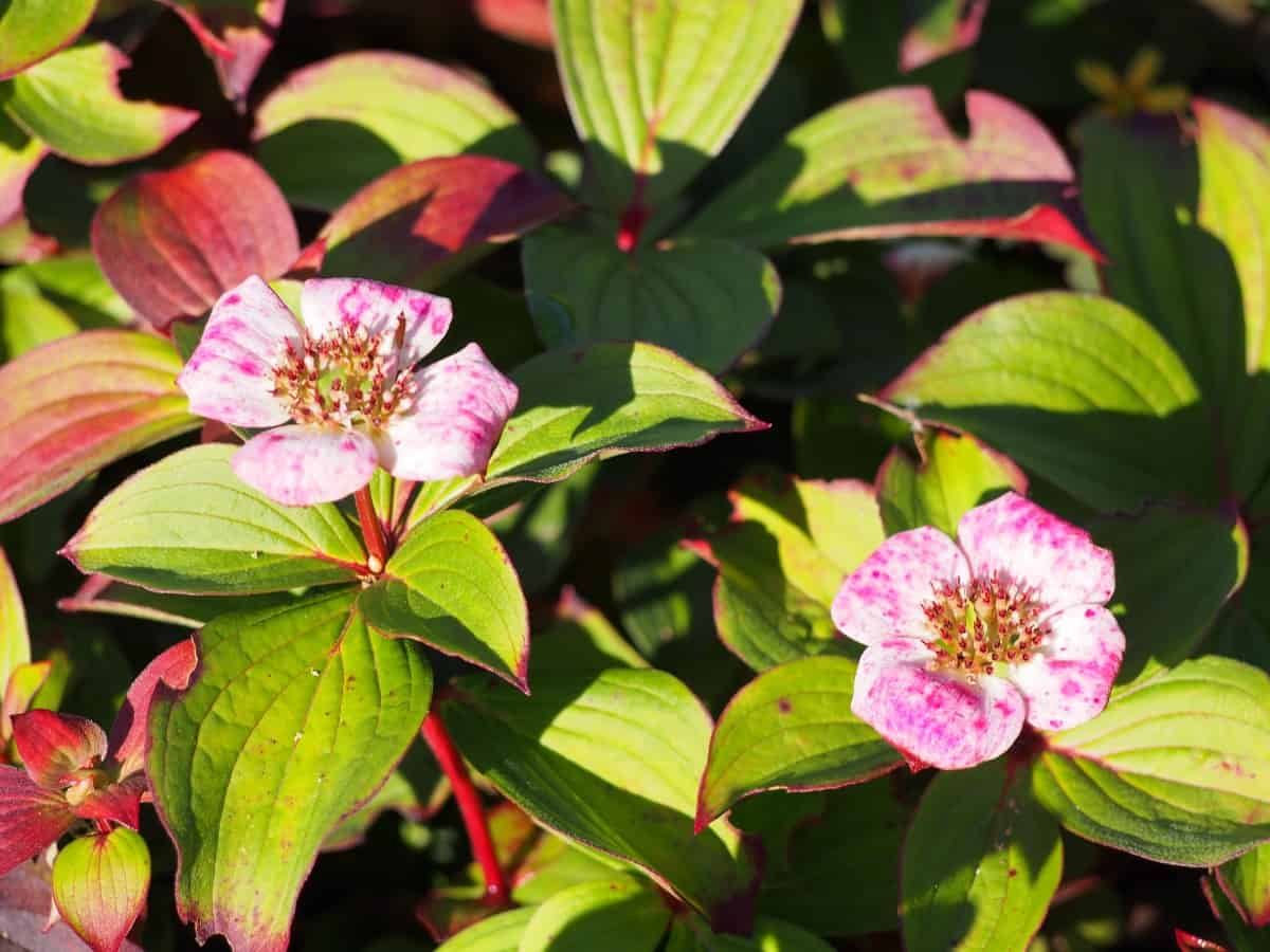Bunchberry is a type of creeping dogwood.