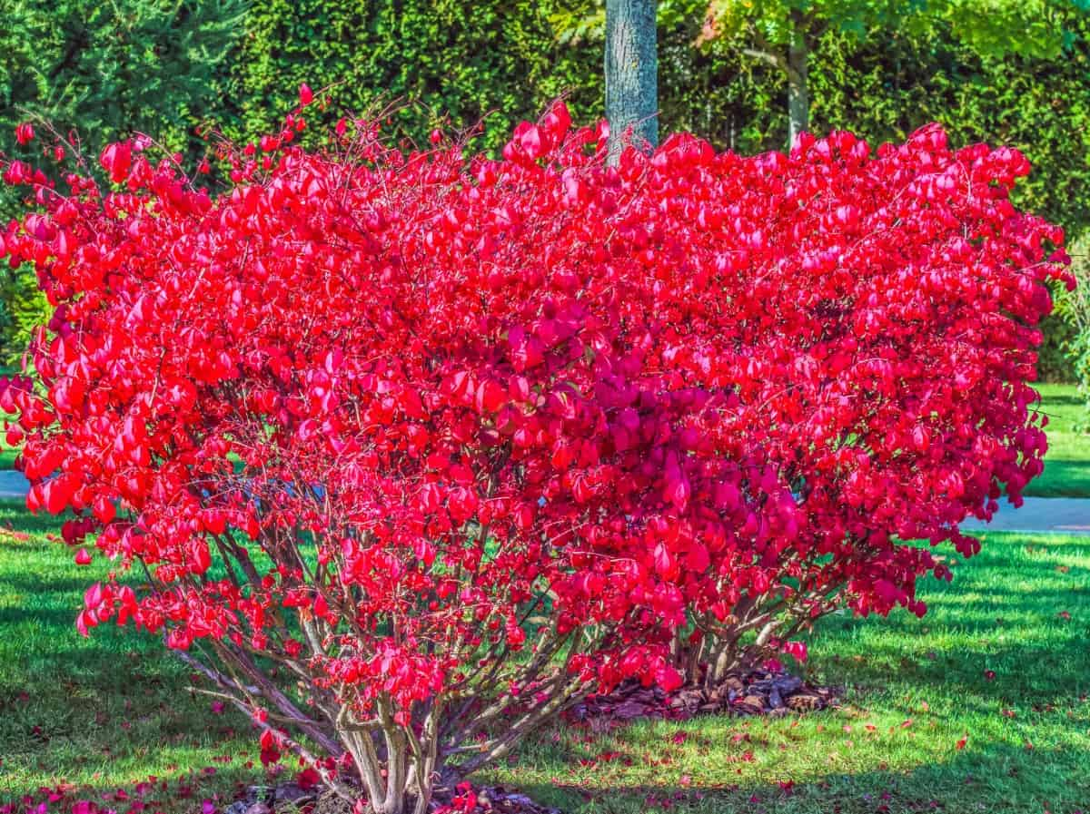 Burning bushes planted in a row make a bright red hedge.
