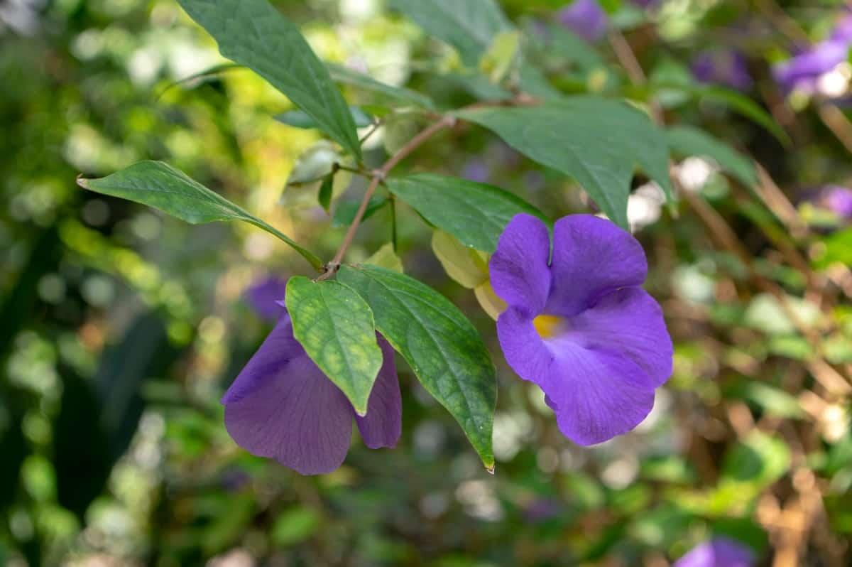 Bush clock vines make excellent fragrant hanging plants.