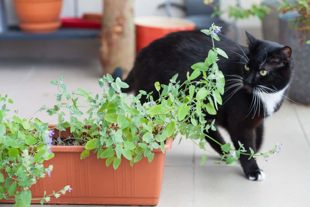 Catnip is a fun plant for children to grow and give the family cat.