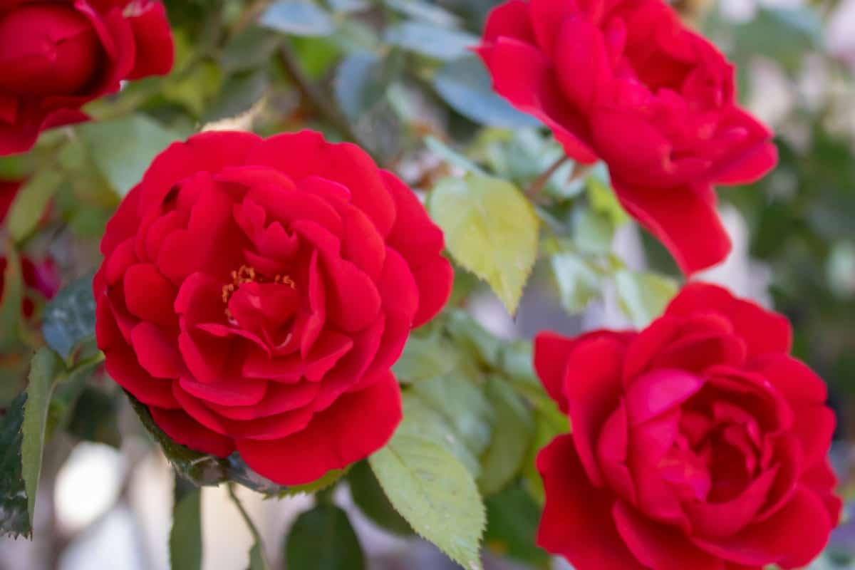 Chinese roses have small but regular blooms.