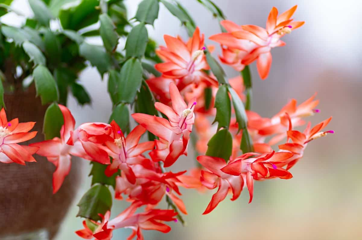 Christmas cactus blooms better in brighter light.