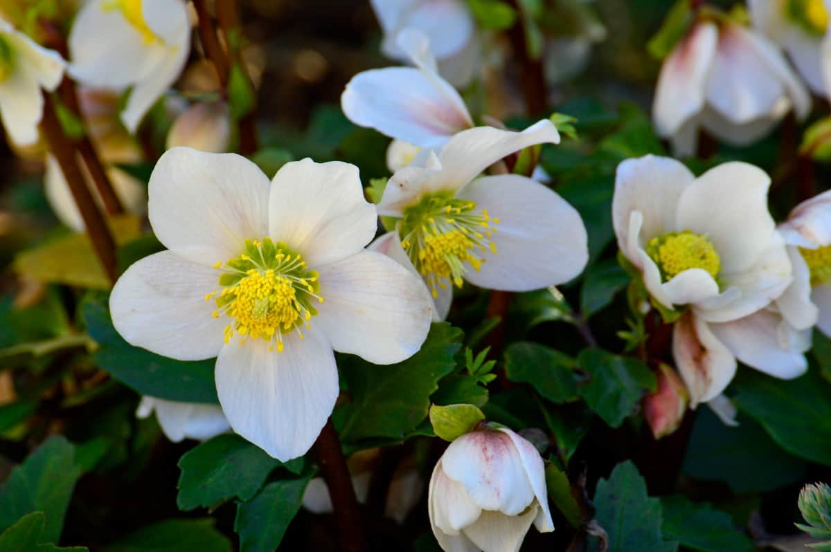 The Christmas rose blooms between November and February.