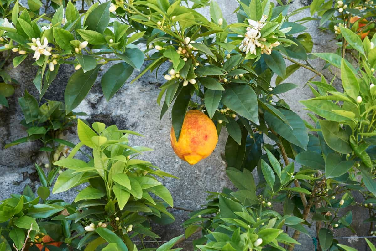 Citron trees are slow growers.