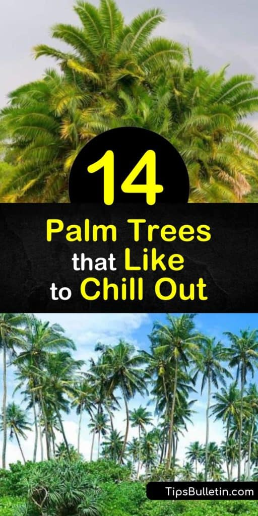 Bring the tropics to your home with the sabal palm, needle palm pindo palm, dwarf palmetto, and other trees with built-in cold hardiness that they've obtained over years of adaptations. Your yard can have a Mediterranean feel even if you live in northern regions. #cold #hardy #palm #trees