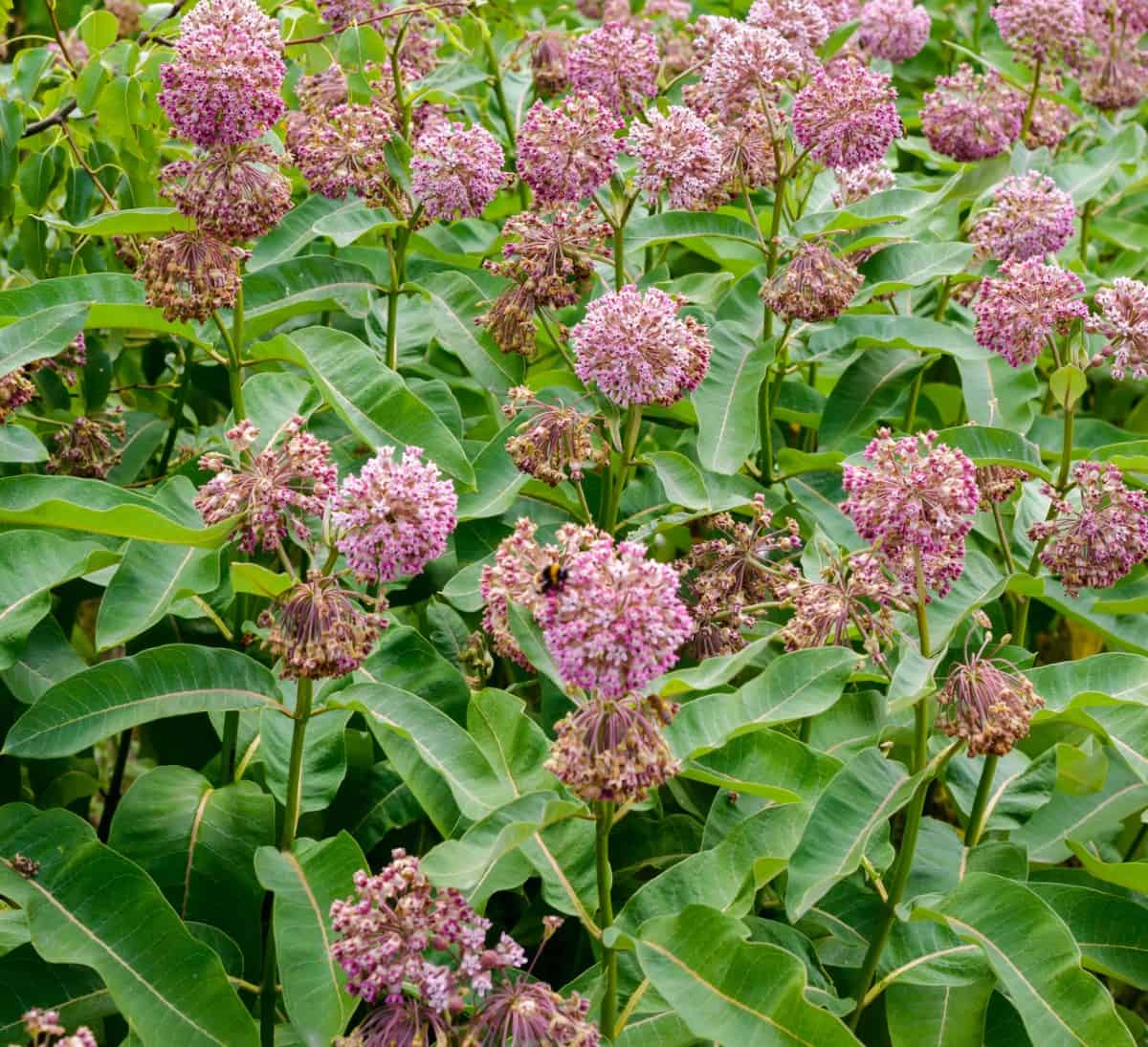 Common milkweed is the only host plant for monarch butterflies.