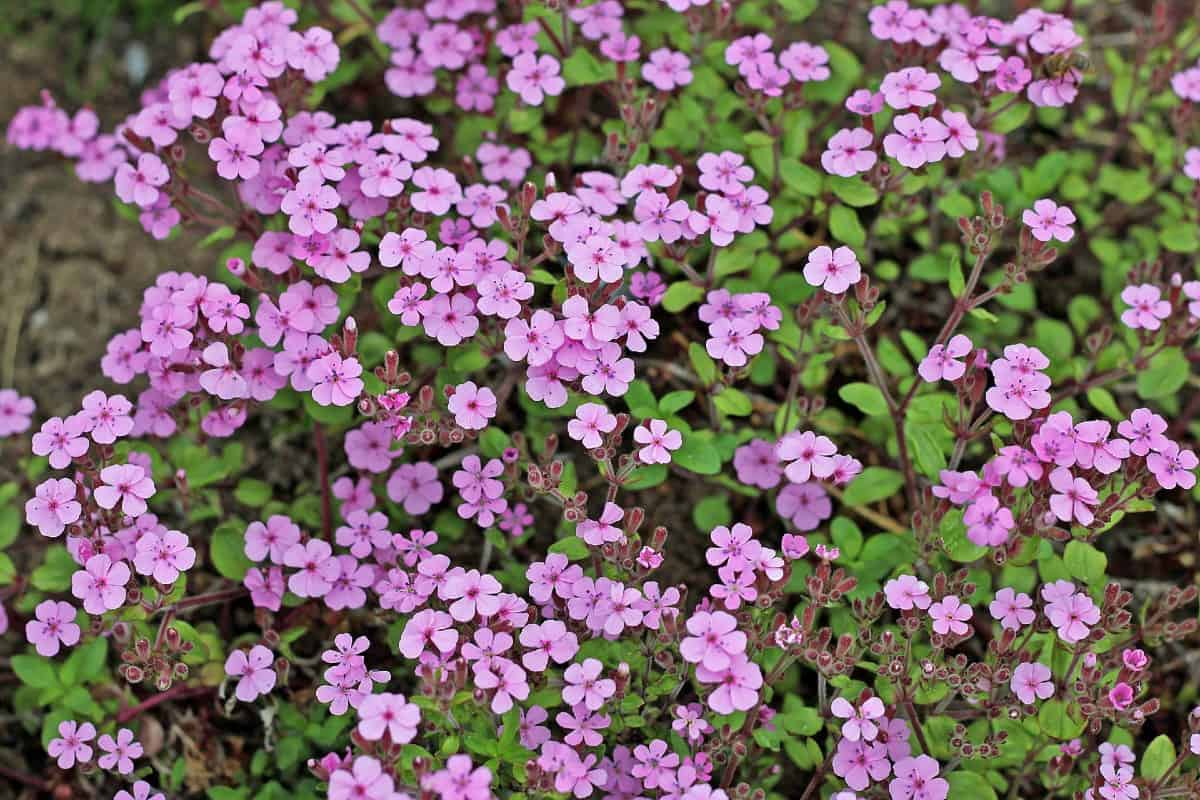 Common soapwort was used by US colonists as a soap product.