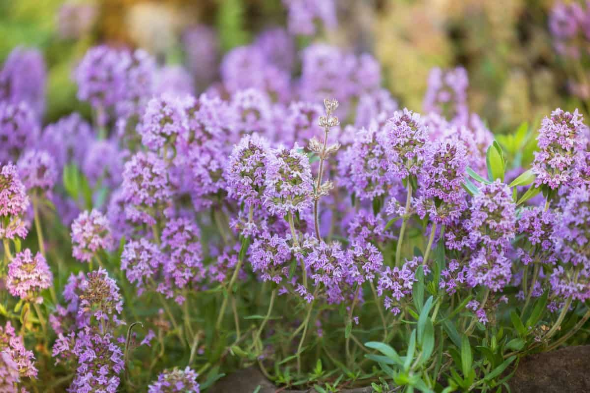 Common thyme is a drought-resistant herb.