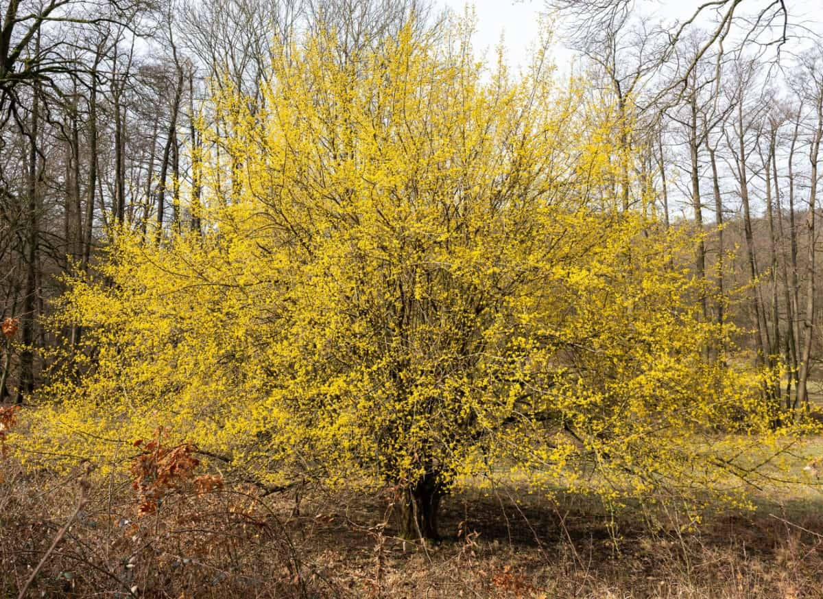 The cornelian cherry dogwood has berries that attract wildlife.