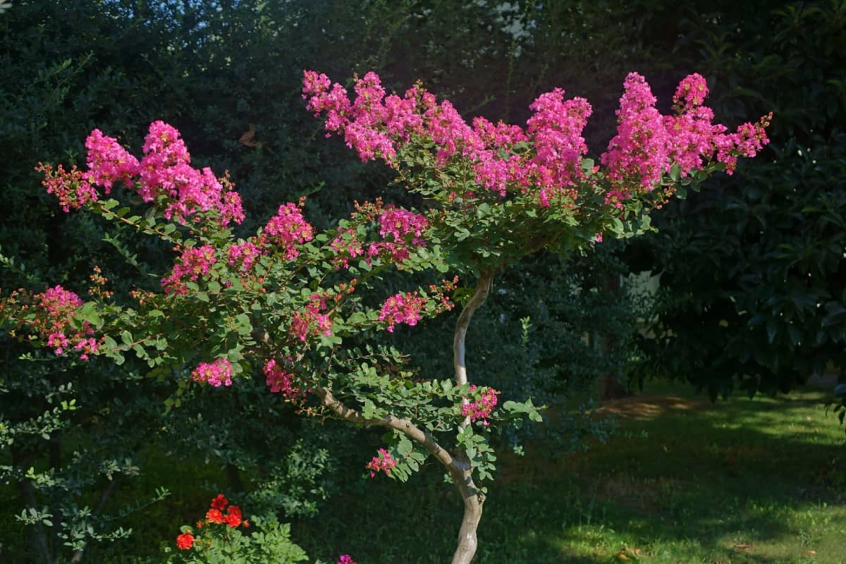 Crape myrtles are sub-tropical pool-side trees.