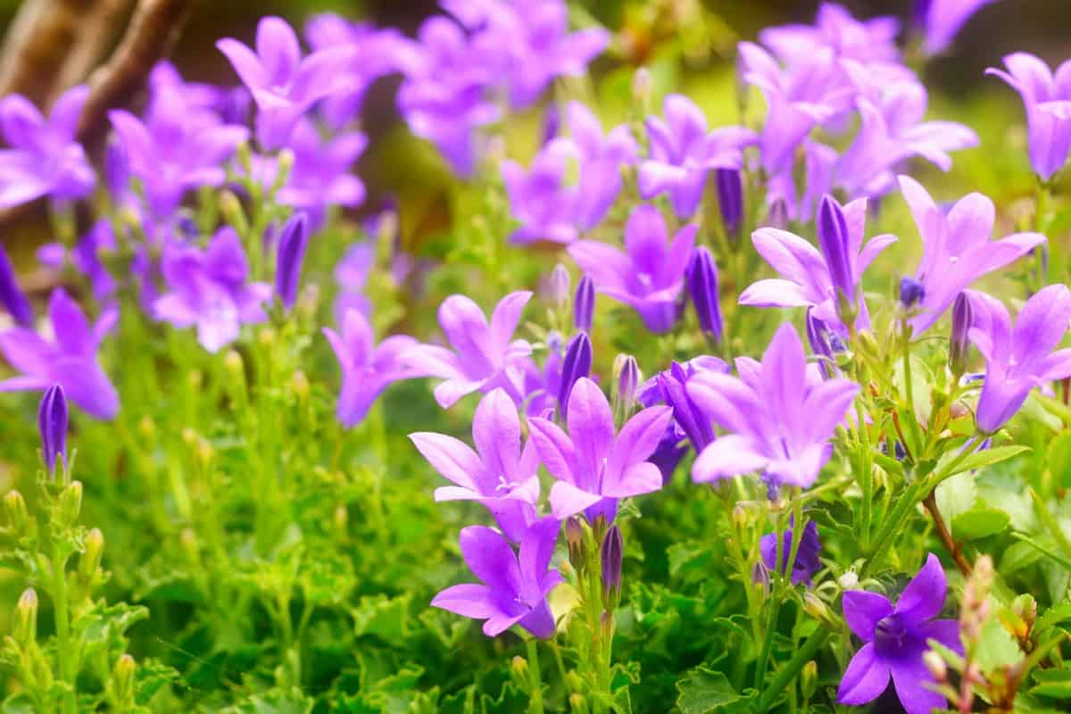 The dalmatian bellflower blooms in mid-summer.