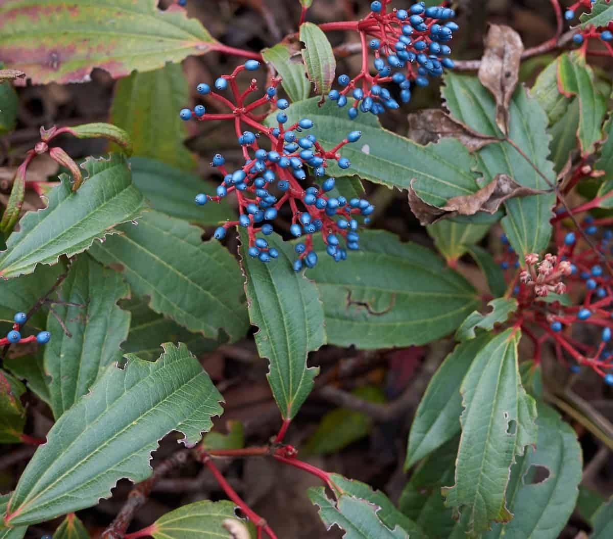 David viburnum has blue-green winter foliage.