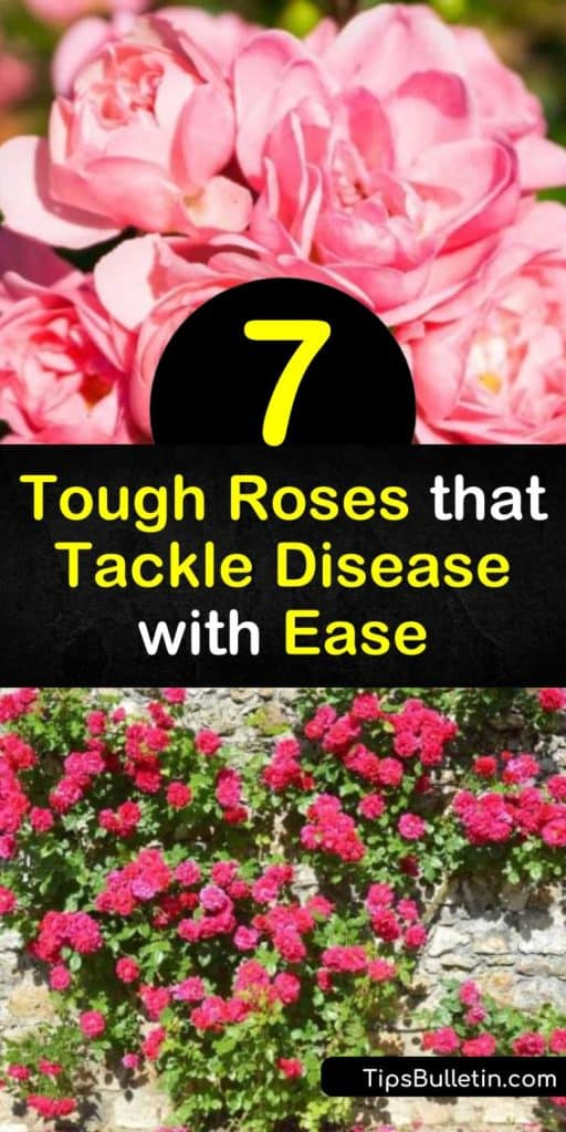 Spend time appreciating the beauty of the floribunda rose, hybrid tea rose, apricot rose, and climbing roses. With built-in disease resistance to powdery mildew and black spot, you can take in all these roses have to offer without constantly treating them. #disease #resistant #roses