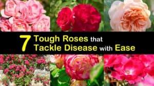 Disease Resistant Roses titleimg1