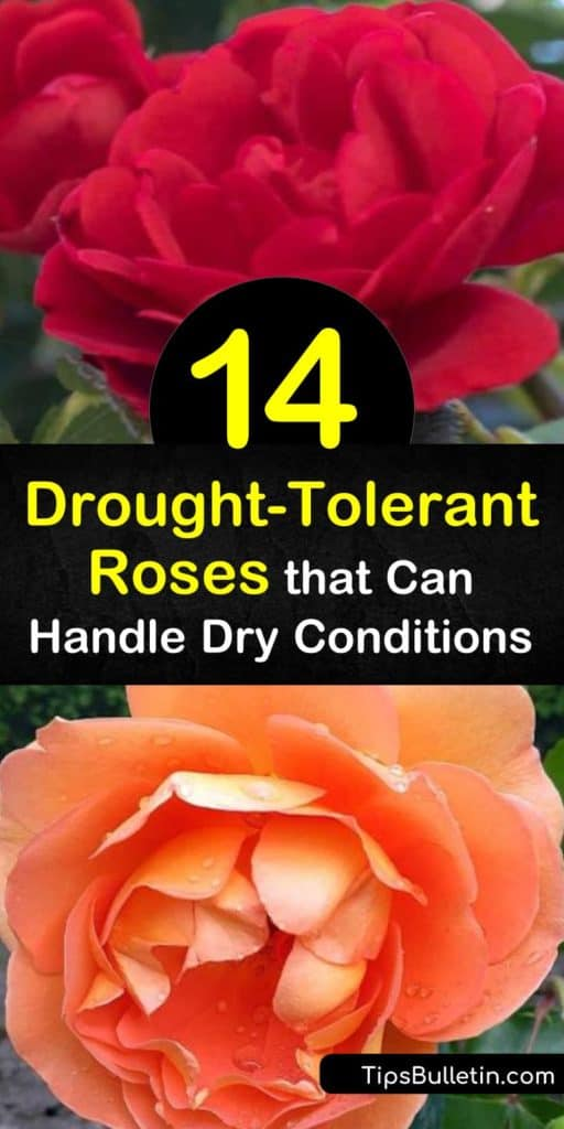 Discover how to garden in dry areas with ground cover, climbing roses, and rose bushes. Grow drought tolerant roses such as the Pat Austin rose, coral drift rose, and knock out roses to enjoy delicately colored flowers all summer long. #droughttolerant #roses #rose #dryareas #droughtresistant