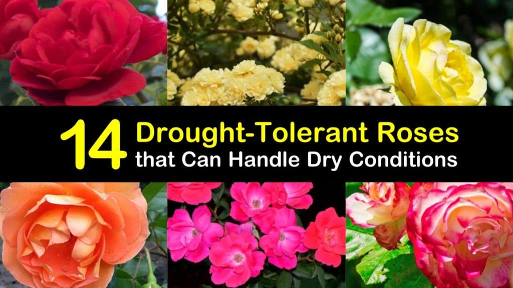 Drought Tolerant Roses titleimg1