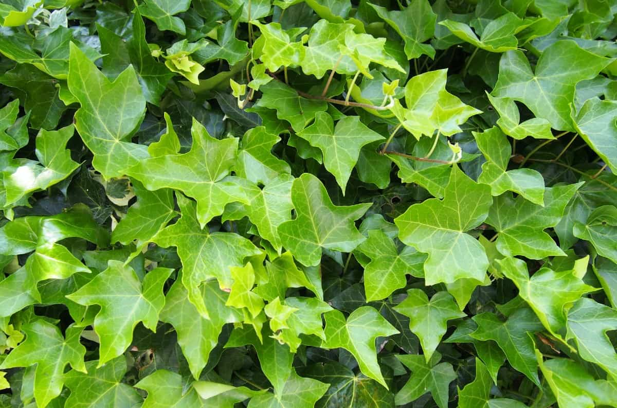 English ivy is incredibly easy to grow.
