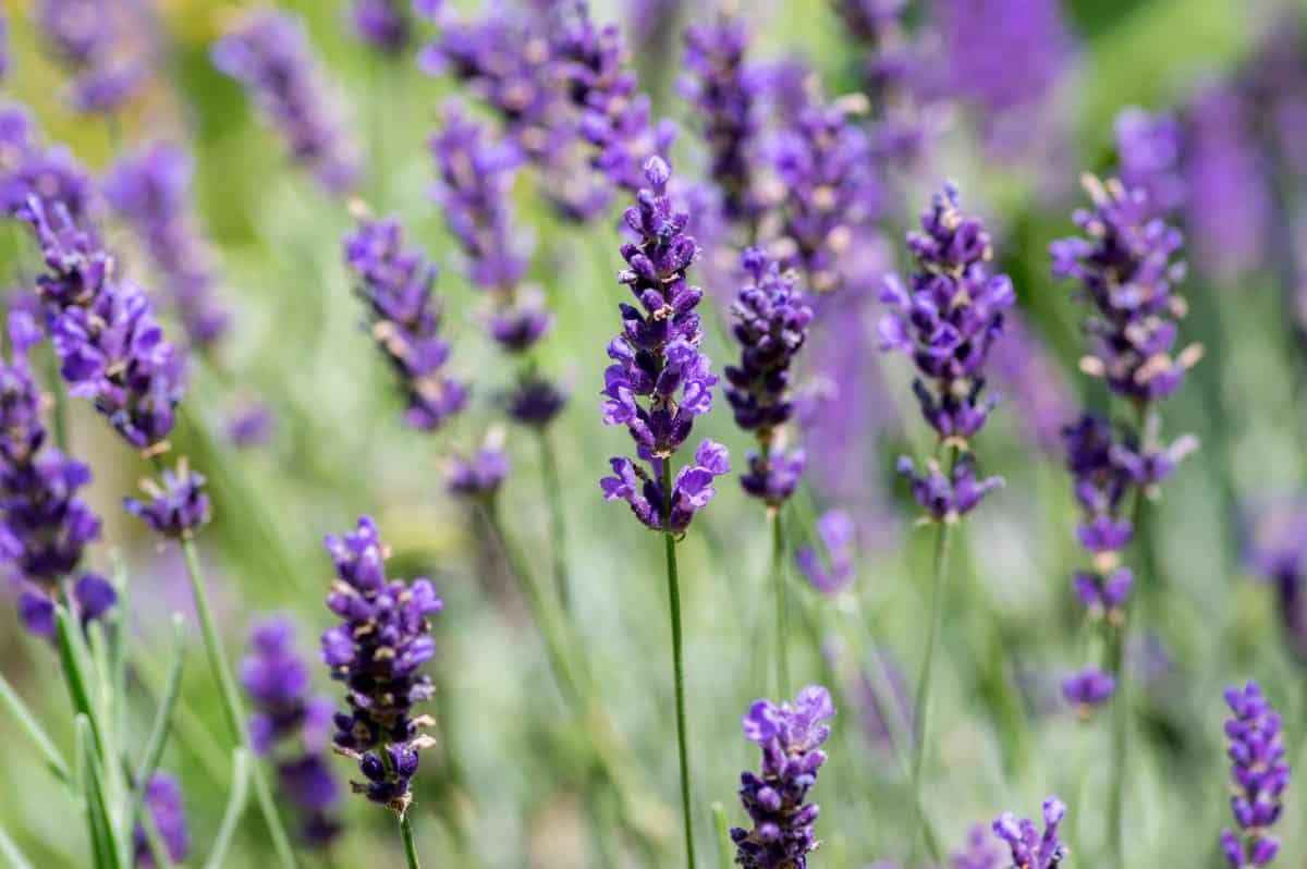 English lavender is an aromatic that is drought tolerant.