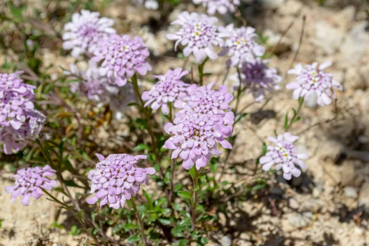 Evergreen candytuft is a perennial with year-round color.