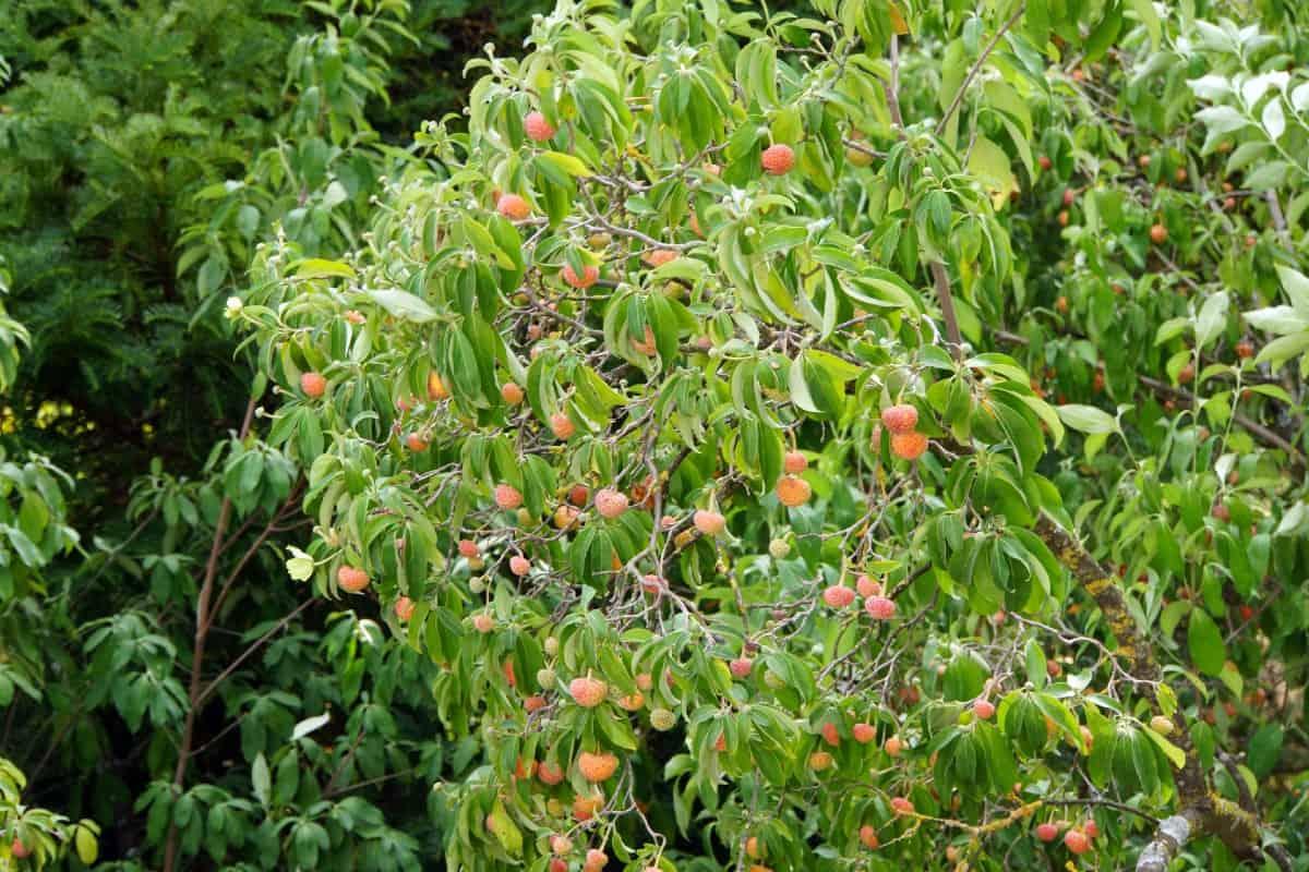 The evergreen dogwood forms a bushy shrub.