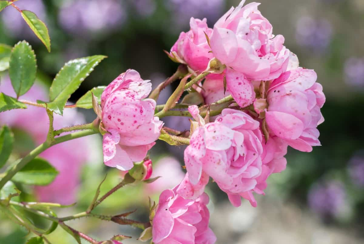 Fairy roses have a height and spread of three feet.