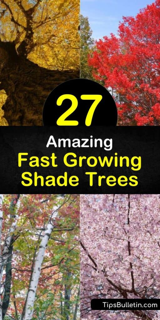 Looking for drought tolerant, fast growing shade trees for your backyard? Our guide shows you the best trees for both small yards and large ones. Discover which trees are evergreen and which lose their leaves in the spring. Fill the landscapes near your house with shade! #shadetrees #shade #trees