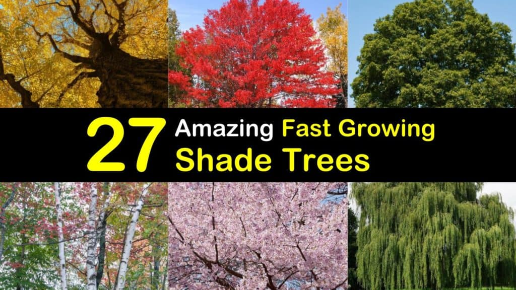 fast growing shade trees titleimg1