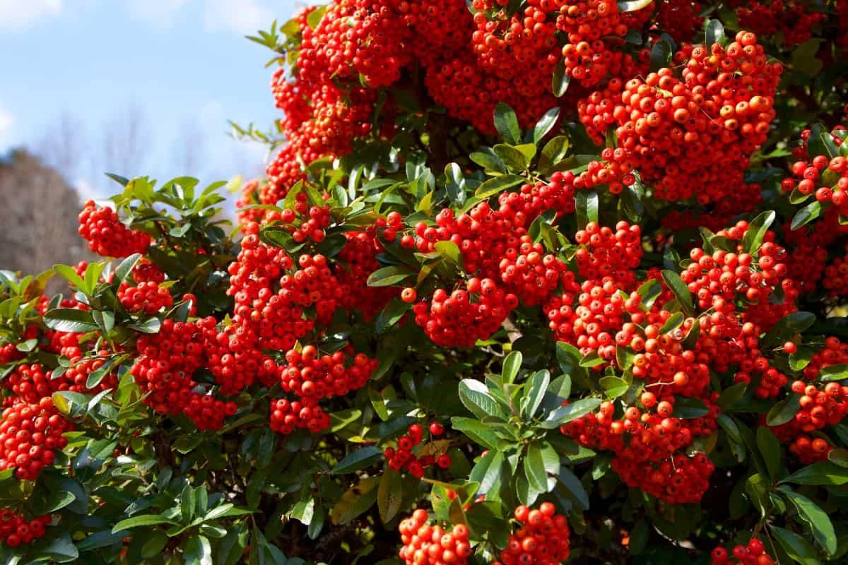 Firethorn is a shrub known for its brightly-colored berries.