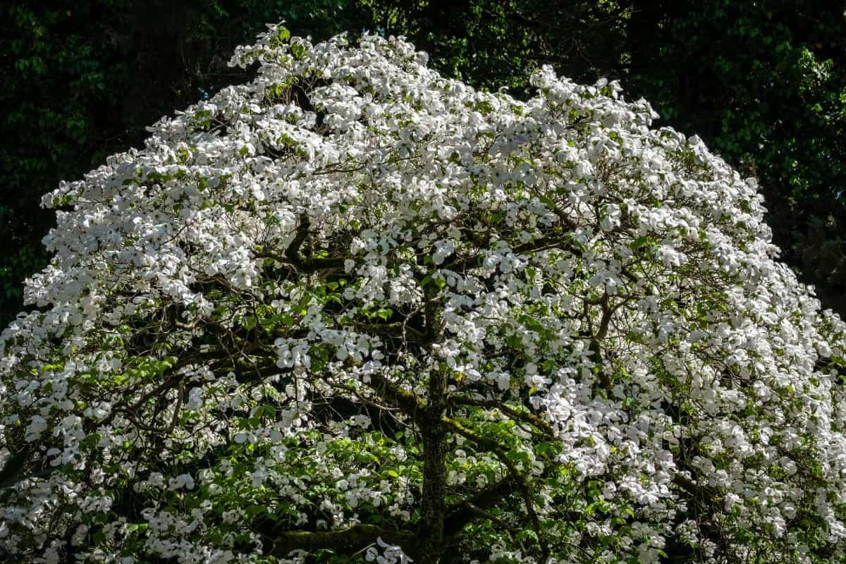 Flowering dogwood trees offer interest in all seasons.