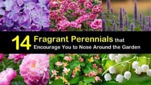 Fragrant Perennials titleimg1