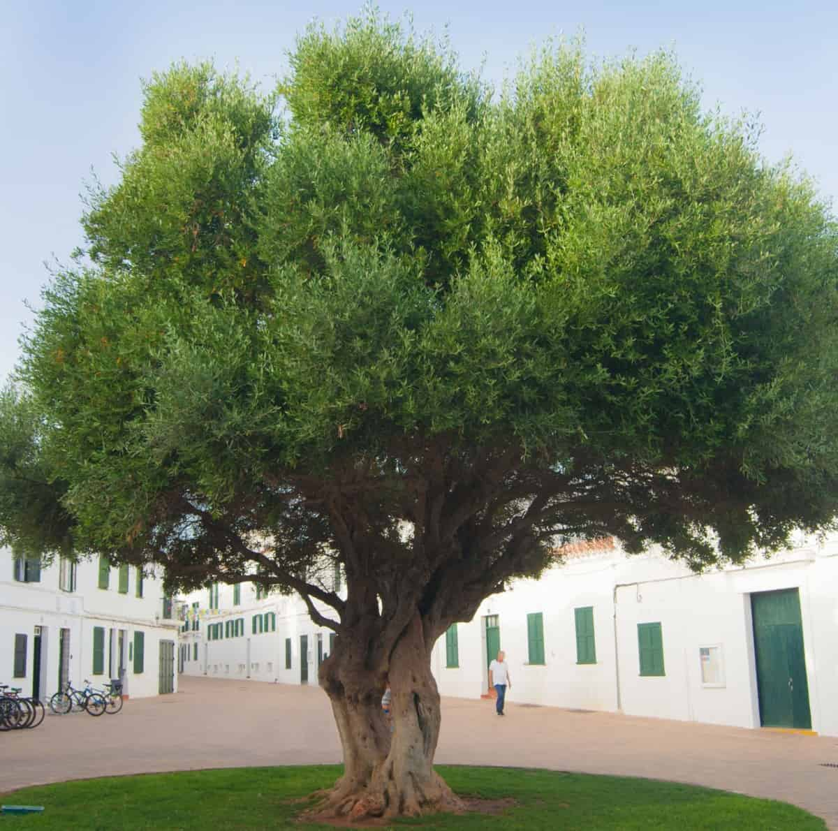 Fruitless olive trees have an attractive twisty trunk and branches.