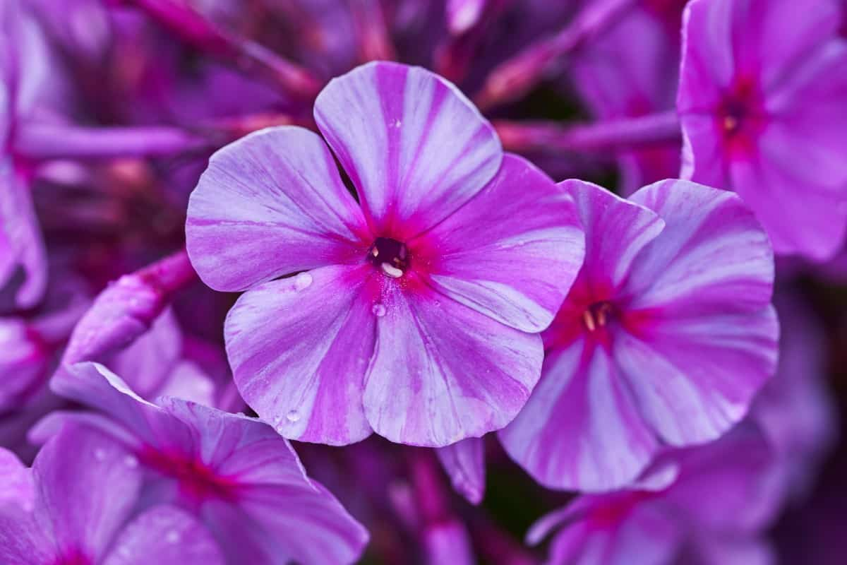 Garden phlox is a perennial that typically comes with white or purple flowers.
