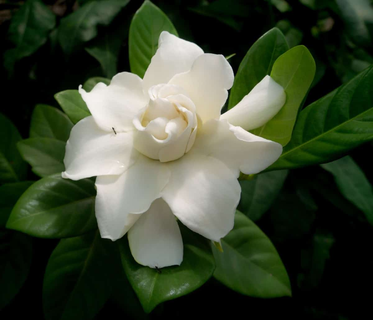 Gardenia shrubs have a strong and pleasant fragrance.