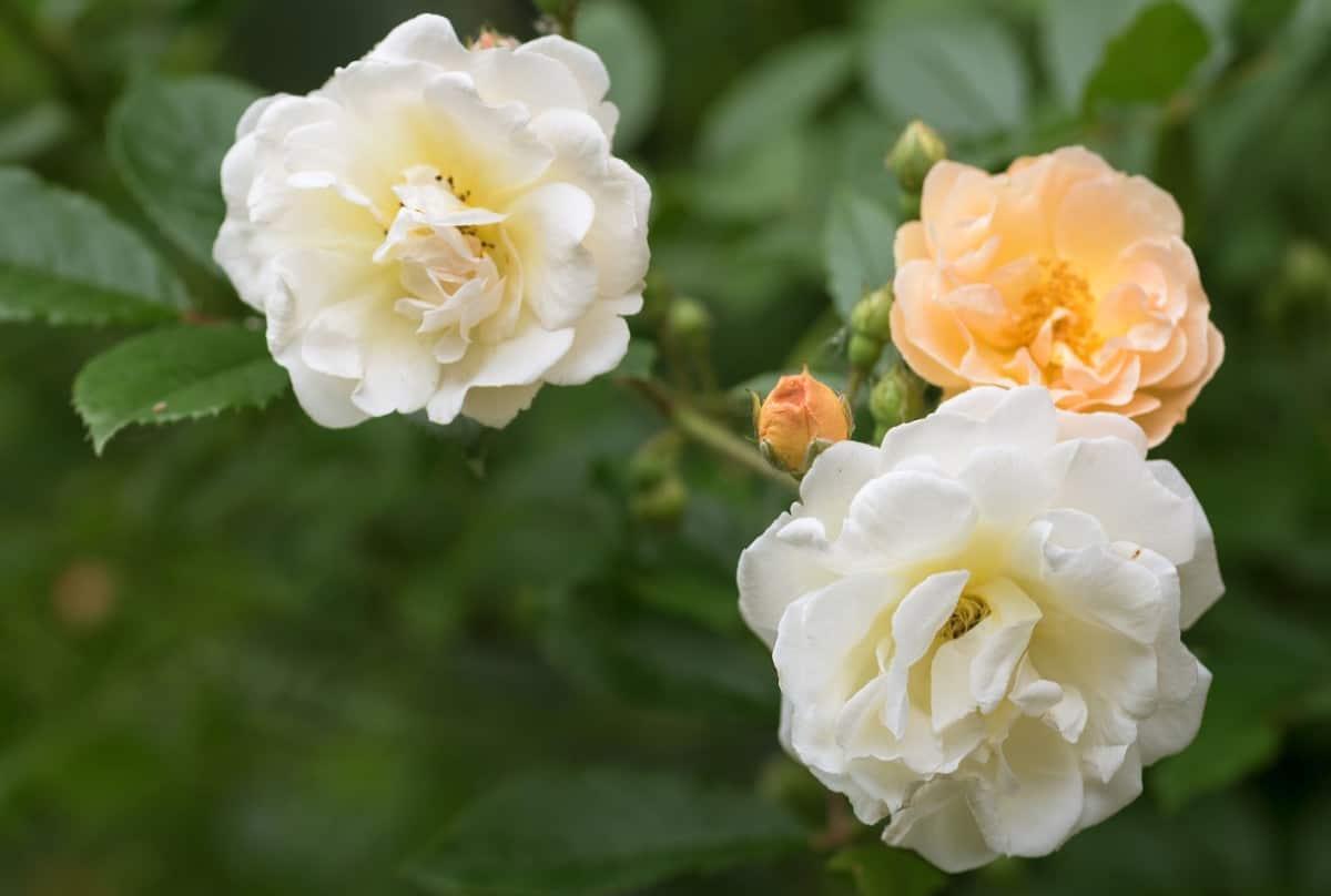 The Ghislaine de Feligonde is a thornless repeat-blooming rose.